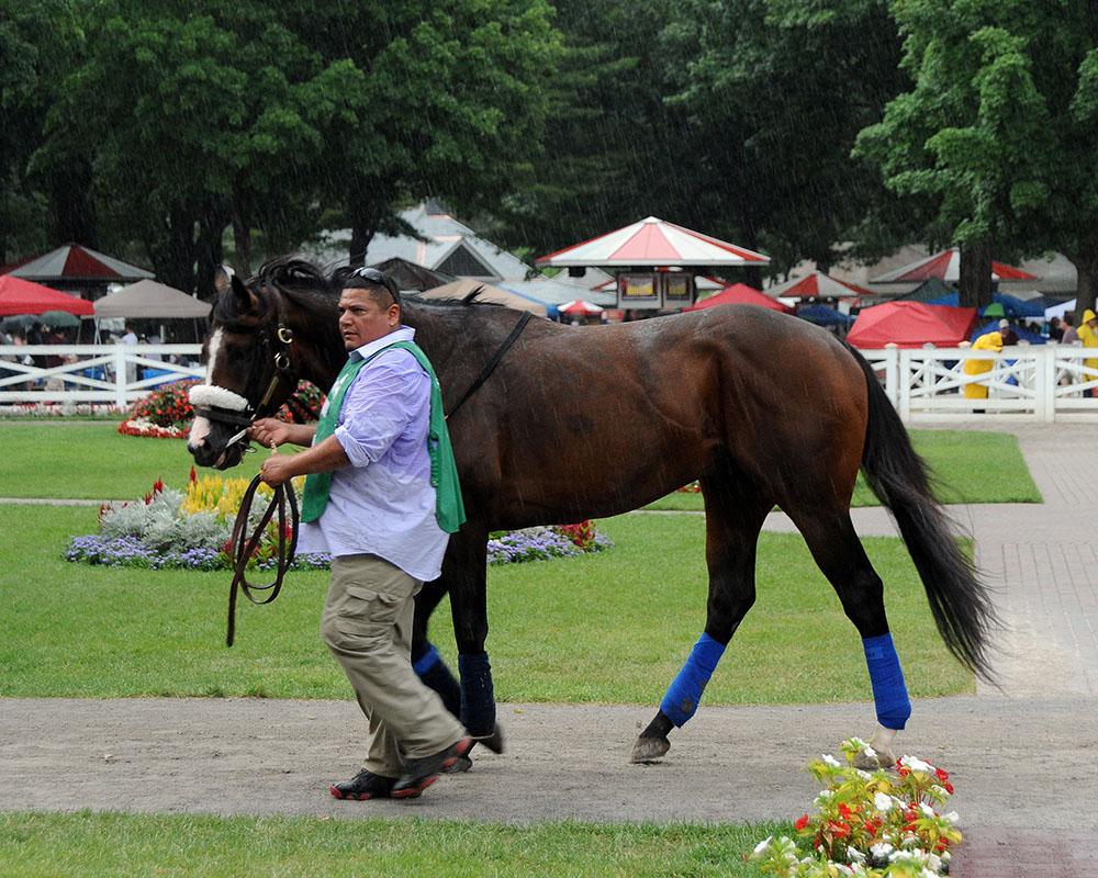Adulator enters the Saratoga paddock in the rain.