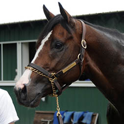 Adulator at Belmont Park