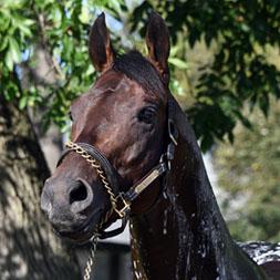 Stakes winner Mihos (Cairo Prince - Feline Flatline) at Belmont Park.