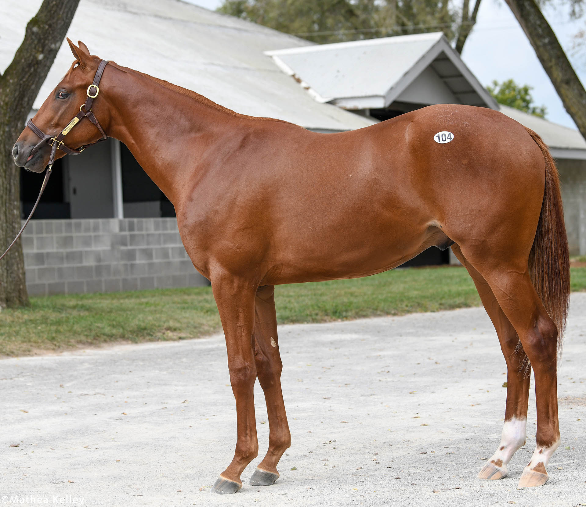 American Pharoah colt out of the Street Cry mare Spring Street, purchased at Keeneland September and available for a thoroughbred racing partnership.