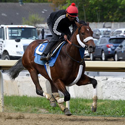 Weather Wiz (Tiznow - Stormy Welcome), a multiple winner owned as part of a thoroughbred racing partnership with Centennial Farms. Shown at Belmont Park.