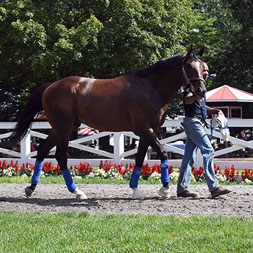 G1 winner and millionaire Preservationist schools in the paddock at Saratoga Race Course for Centennial Farms thoroughbred racing partnership.