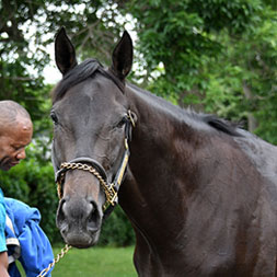 Videri (Honor Code - Beat the Drums), part of the Topsfield thoroughbred racing partnership, at Belmont Park in June of 2021.