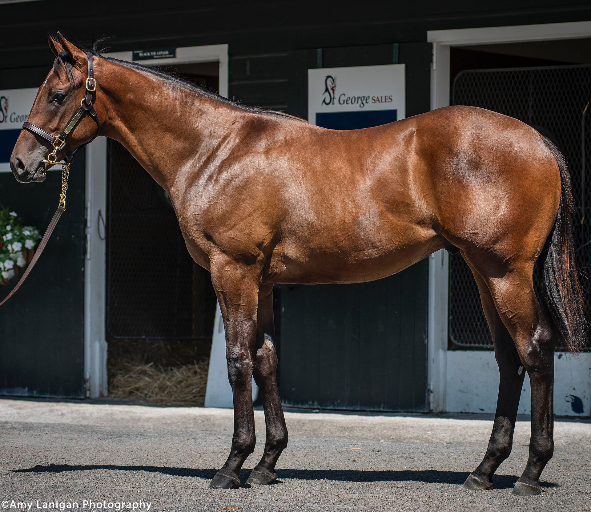 Arrogate colt out of the Harlan's Holiday mare Stellaris, purchased at Fasig-Tipton's 100th Saratoga Sale and available in the Kiawah thoroughbred racing partnership.